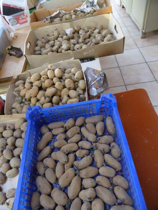 11-pommes de terre (4)