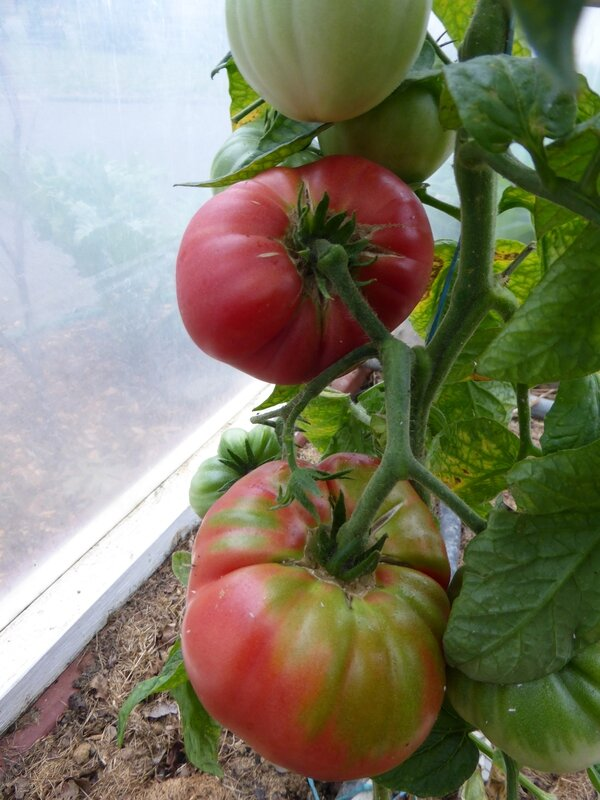 17-tomate prudens purple
