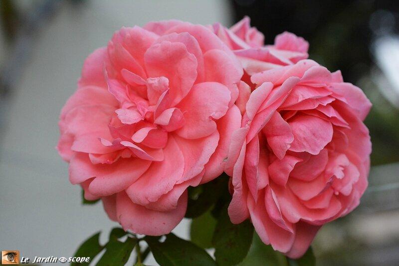 Rose-Kimono