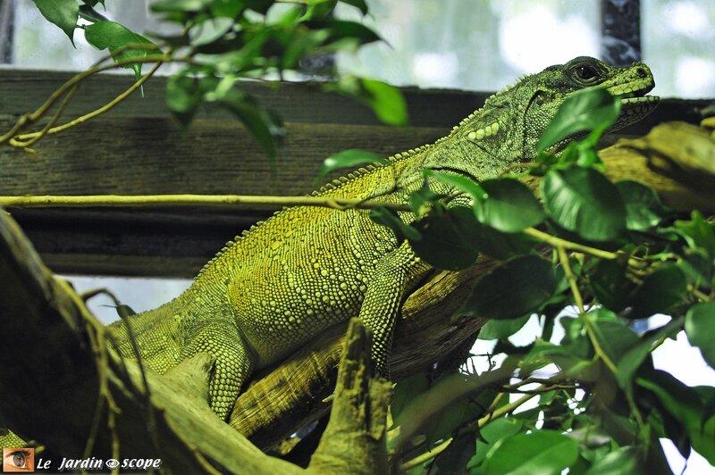 Hydrosaure • Hydrosaurus pustulatus