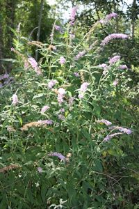 Buddleia_de_David