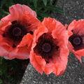 2009 06 04 Mes pavots d'Orients en fleurs (2)