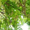 La vigne de la terrasse