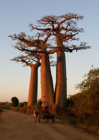 baobabs-et-charrette-zebu