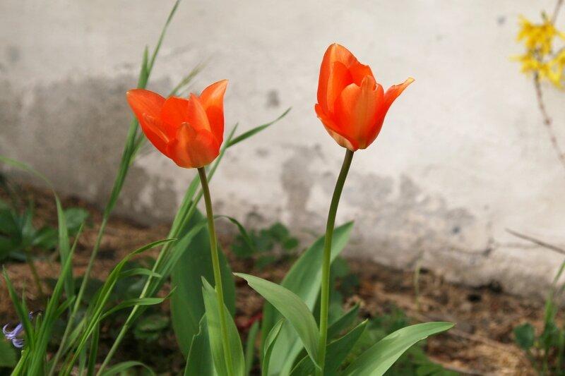 jardin_mars_tulipe