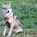 Loup gris d'Europe - Canis lupus lupus (5)