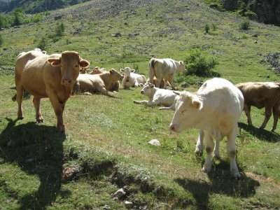 troupeau-vaches-blanches