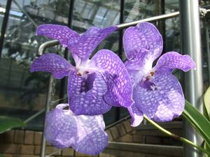 orchidee_bleues