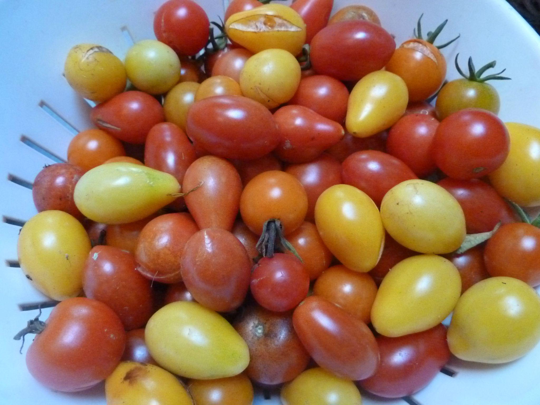 tomate cerises - www.passionpotager.canalblog.com