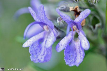 Fleurs-de-romarin