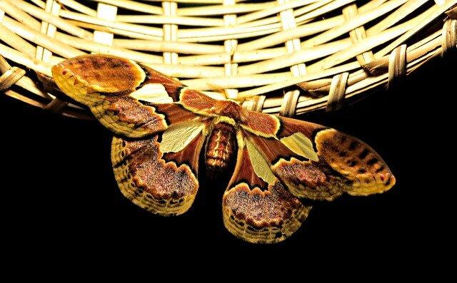 Marajo Papillon du soir