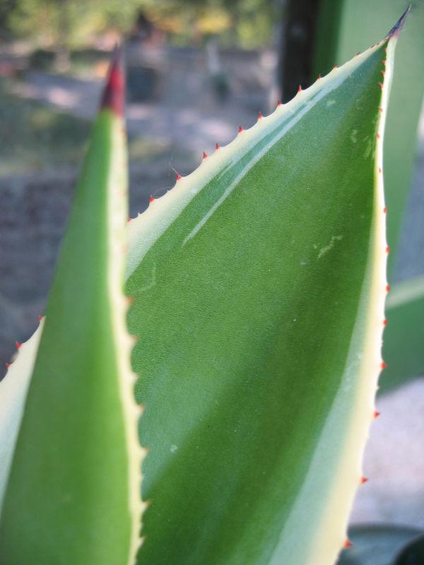 Succulente_Agave_Am_ricana_Variegata