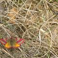 papillon_buurlo_170411
