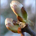 bourgeons de marronnier