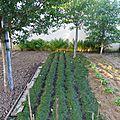 8 juin - les rangs de carottes sont épilés....