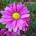 Chrysanthèmes (3)