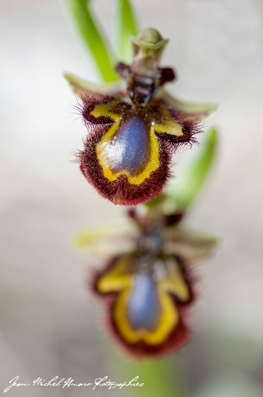 2015_04_Ophrys speculum_03