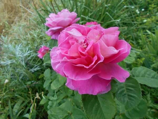 mme figaro rose