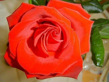 rose_de_velour