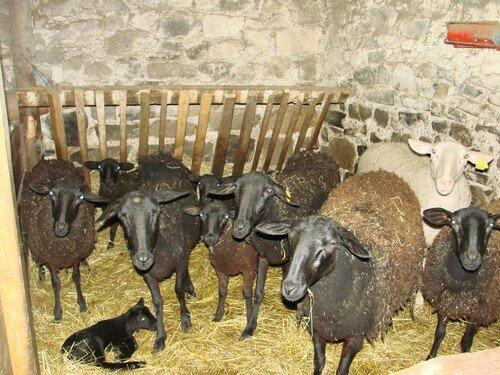 2008 04 21 Les montons de Jean Trevyes et un agneau qui viens de naitre