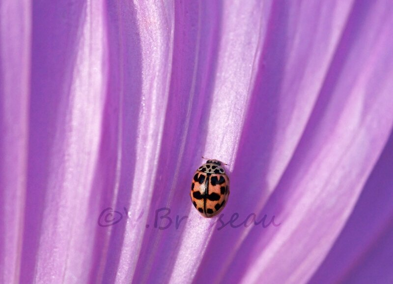 coccinelle-rose