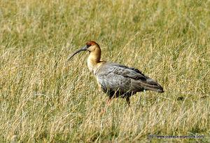 ibis_face_noire