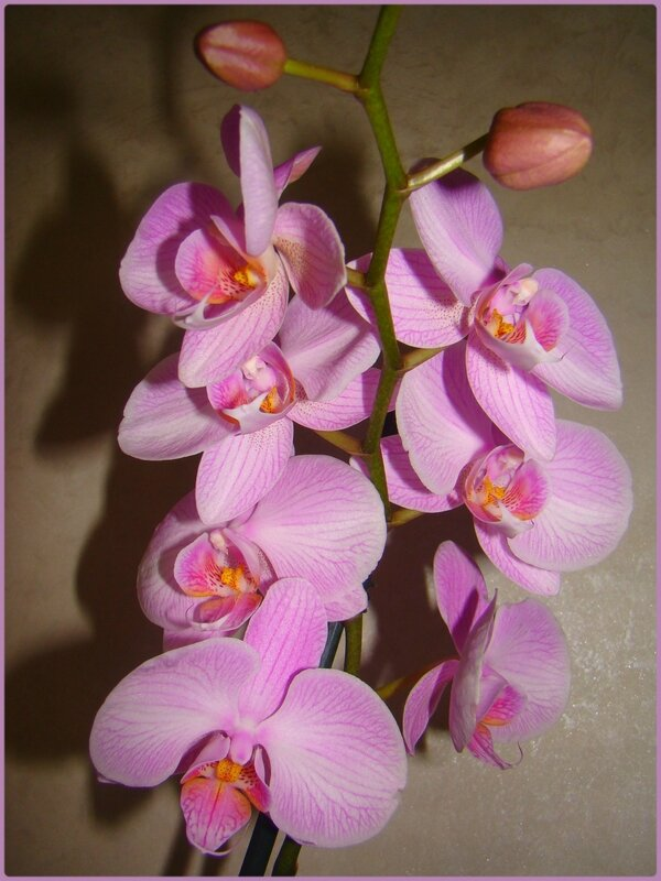 orchiviolet2