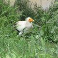 le vautour percnoptère