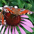 Un de nos papillons les plus communs dans nos massifs