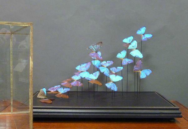 papillons morphos cornette