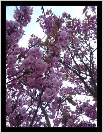 2010_05_23_Le_cerisier_d_ornement__2_