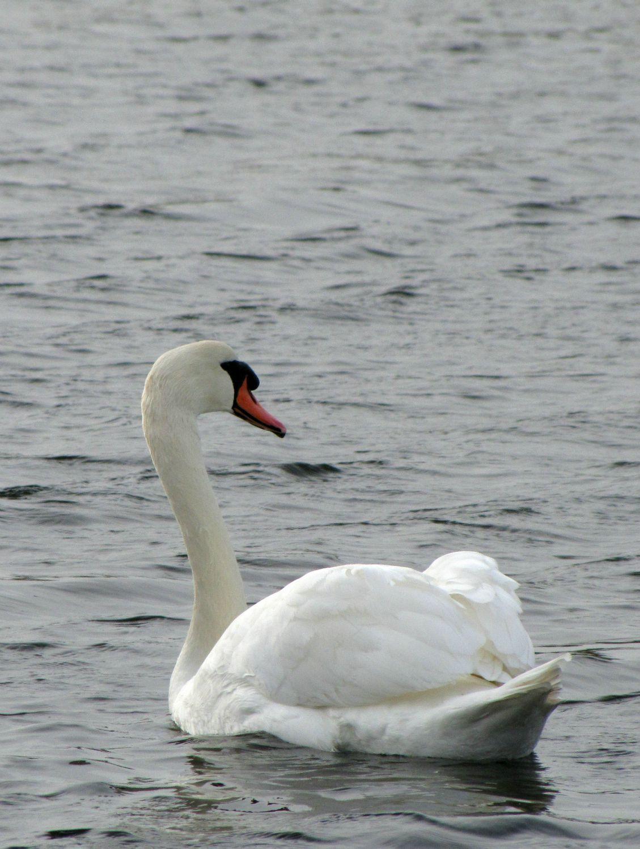 Oiseaux ile de re cygne foto Mo2 (3)-h1500