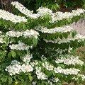 petite bouture devenue grande... De la famille des viburnum, le port horizontal des branches est remarquable !