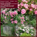 Roses anciennes orléanaises : 'Maman Turbat'