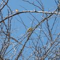 nid de bélier (3)