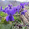 Violettes (2)