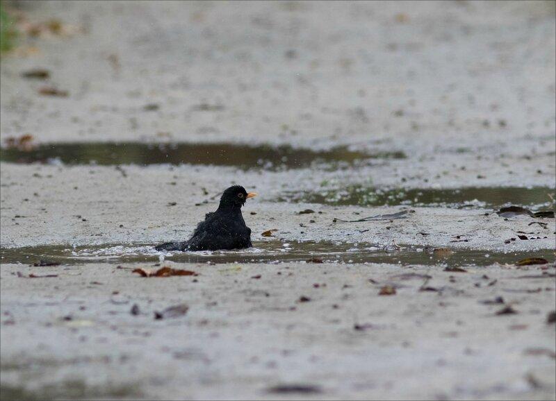 oiseau merle bain flaque 5 241117