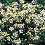 aster-snow-flurry-l432-h0