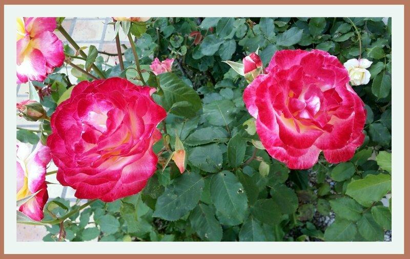 16 07 09 Roses 18h33
