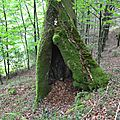 Colossal hêtre caverneux dans le Castillon...