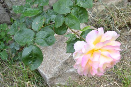 rosea