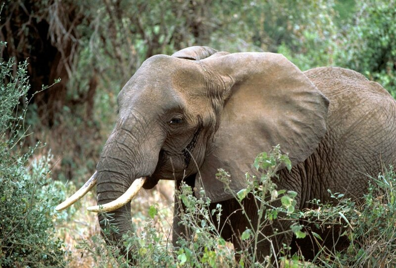 African_elephant