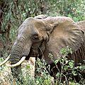 Elephant de savane d'afrique