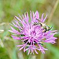 Halicte de la scabieuse mâle (halictus scabiosae)