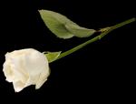 rose saumonée