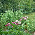 pois, cosmos et haricots