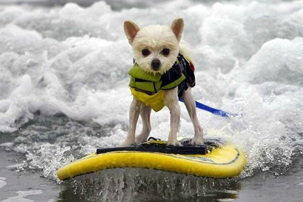 chiens surfeurs USA 2