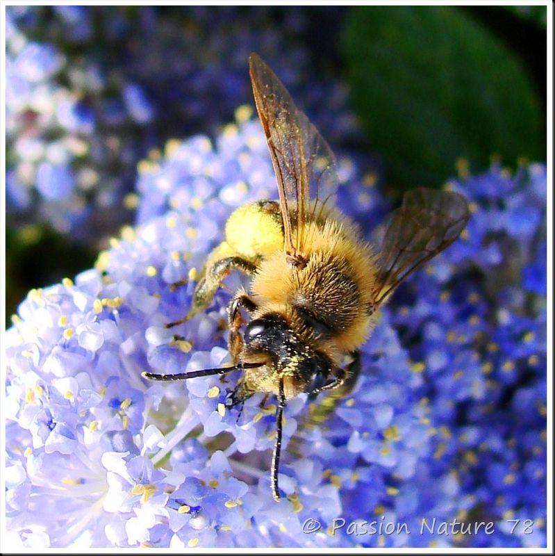 Les abeilles (7)