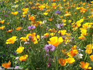 Fleurs_des_champs_3
