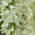 05 Glycines blanches